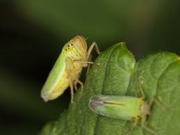 Garden chewing insects -leafhoppers-garden-insect-control-methods