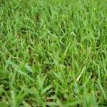 Zoysiagrass-turf-disease