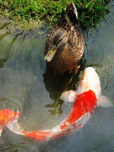 Pond fish-build-a-back-yard-fish-pond
