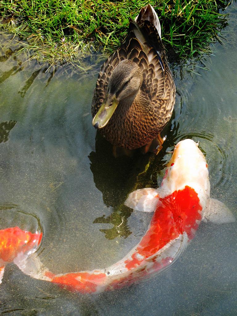 Build your own backyard fish pond eden 39 s garden for Build your own koi pond