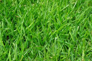 Green Grass-how-to-keep-birds-from-eating-grass-seed