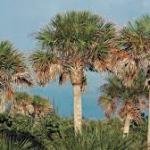 Cabbage palms-salt-tolerant-plant-list