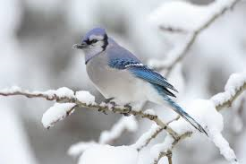 Blue Jay bird in the snow-plants-that-repels-insects