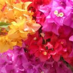 Bougainvellias-can-plants-survive-without-water