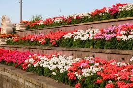 Garden plants in brick raised beds-annuals