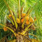 Coconut tree-salt-tolerant-plant-list