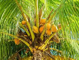 How to become a arborist-coconut palm