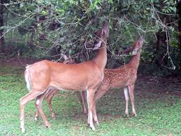 Deers eating leaves from tree-health-benefits-of-plants
