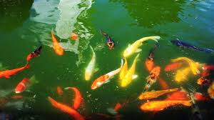 Fish-pond-fish-pond-garden-features
