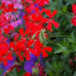 Geranium ivy-landscape-ground-covers