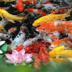 Gold-fish-build-a-back-yard-fish-pond