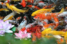 Gold-fish-pond-fish-fish-pond-garden-features