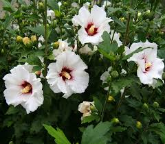 Hibiscus plant-benefit-of-sand
