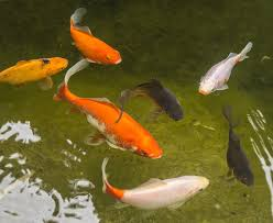 Pond fish-fish-pond-garden-features