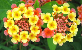 Lantanas-quick-release-fertilizer