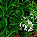 Mondo grass-salt-tolerant-plant-list