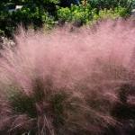 Muhly-salt-tolerant-plant-list