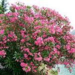 Oleanders-can-plants-survive-without-water