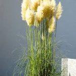 Pampas grass-salt-tolerant-plant-list