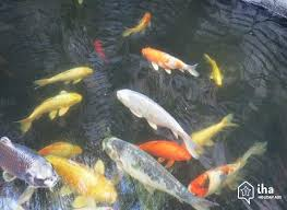 pond-fish-fish-pond-garden-features