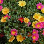 Portulacas-landscape-ground-covers