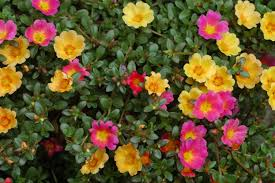Portulaca-quick-release-fertilizer