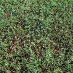 Sea purslane-landscape-ground-covers