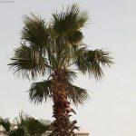 Washingtonia-salt-tolerant-plant-list