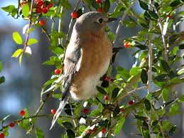Bird- resting- in- holly- plant
