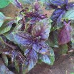 Basil herb-natural-remedies-for-tinnitus
