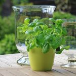 Basil herb-regrow-vegetables-from-kitchen-scraps