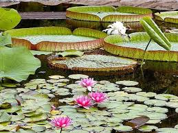Creating a lily pond- water lillies