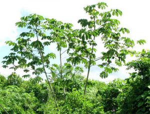 Moringa tree-health-benefits-moringa-tree