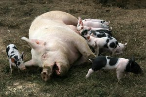Baby pigs being nurse by mother pig-organic-raised-animals