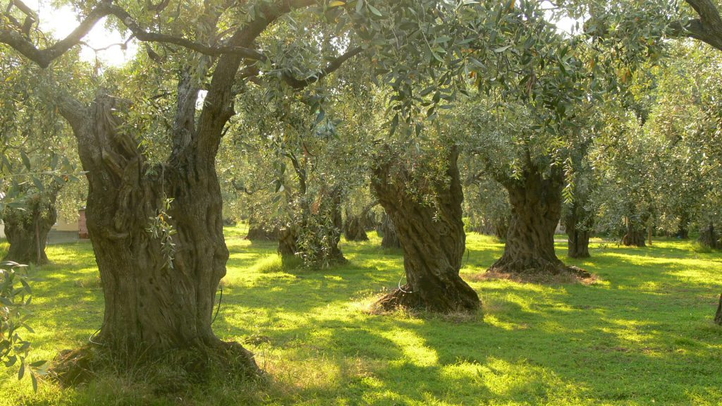 Olive trees-health-benefit-of-olive-oil