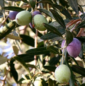 Olives hanging from olive tree-health-benefit-of-olive-oil