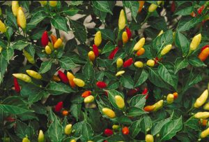 Peppers-organic-fertilizer