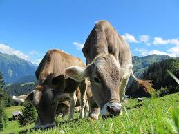 Organic cows-organic-raised-animals