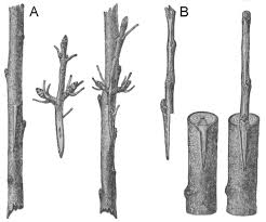 Tree grafting methods-how-to-graft-a-tree