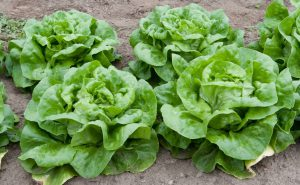 Green lettuce in garden-how-to-grow-lettuce
