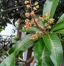 Mango tree budding-health-benefits-of-mango