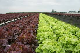 Green and purple lettuce growing on farm-how-to-grow-lettuce
