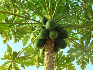 Papaya tree-papaya