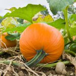 Pumpkins on vine-regrow-vegetables-from-kitchen-scraps
