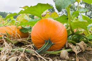 Pumpkin Patch- backyard-gardening