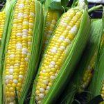 Corn-planting-a-spring-garden