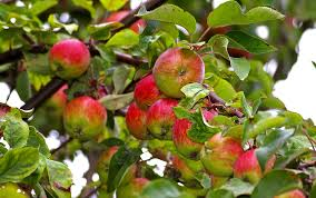 Apples-organic-fertilizer
