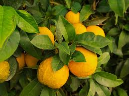Oranges-organic-fertilizer
