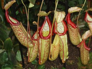 Nepenthes-plants-that-eats-insects