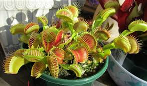 Venus fly trap-Indoor-pest-repellent-plants